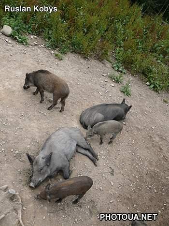 Дикі свині