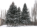 Snow-bound fir-trees